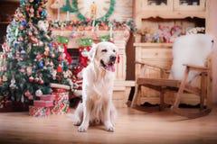 金毛猎犬、圣诞节和新年 免版税库存图片