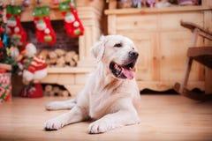 金毛猎犬、圣诞节和新年 免版税库存照片
