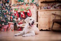 金毛猎犬、圣诞节和新年 库存照片