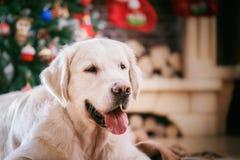 金毛猎犬、圣诞节和新年 库存图片
