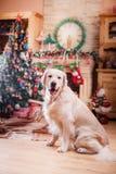 金毛猎犬、圣诞节和新年 图库摄影