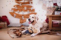 金毛猎犬、圣诞节和新年 免版税图库摄影