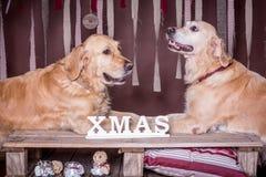 金毛猎犬二 圣诞节 库存照片