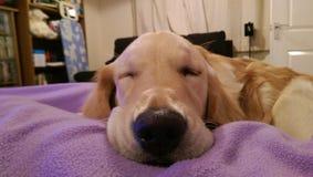 金毛猎犬休眠 库存照片