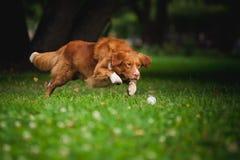 金毛猎犬使用与球的鸣钟人狗 免版税库存图片