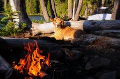 金毛猎犬做野营  库存照片