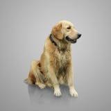 金毛猎犬充分的身体在灰色的 图库摄影