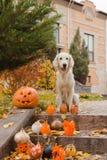 金毛猎犬和万圣夜南瓜 免版税库存照片