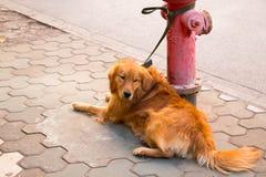 金毛猎犬和消防栓 库存照片