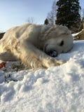 金毛猎犬和雪 免版税库存照片