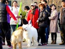 金毛猎犬和Samoye使用 免版税库存照片