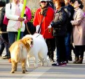 金毛猎犬和Samoye使用 图库摄影