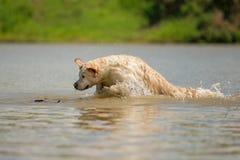 金毛猎犬喜欢游泳 库存图片