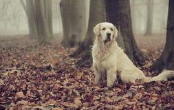 金毛猎犬在五颜六色的森林里 免版税库存图片