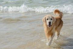 金毛猎犬在海滩的狗戏剧 免版税图库摄影