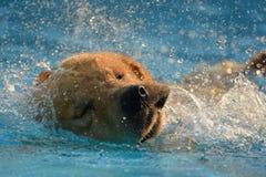 金毛猎犬在游泳池的小狗锻炼 免版税库存图片