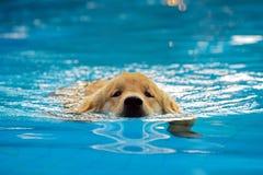 金毛猎犬在游泳池的小狗锻炼 库存图片