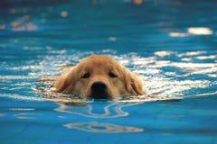 金毛猎犬在游泳池的小狗锻炼 免版税库存照片