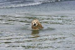 金毛猎犬在游泳以后摇他的头在河 库存照片