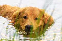 金毛猎犬在湖的狗游泳 免版税库存照片