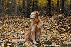 金毛猎犬在秋天或秋天 库存图片
