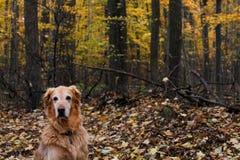 金毛猎犬在秋天或秋天 免版税库存照片