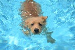 金毛猎犬奥林匹克游泳者 库存图片