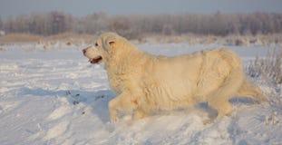 金毛猎犬女性在13岁 图库摄影