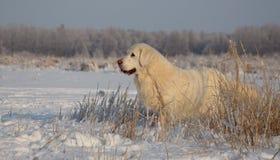 金毛猎犬女性在13岁 免版税库存图片