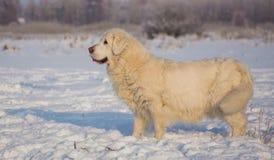 金毛猎犬女性在13岁 库存照片