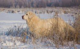 金毛猎犬女性在13岁 库存图片