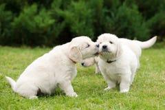 金毛猎犬小狗亲吻 库存图片