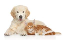 金毛猎犬小狗和姜小猫 免版税库存图片