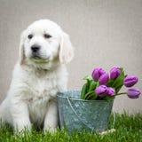 金毛猎犬小狗在春天 免版税库存图片