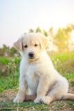 金毛猎犬小狗就座在庭院里 免版税库存图片