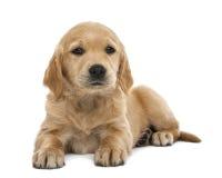 金毛猎犬小狗, 7个星期年纪,位于 免版税库存图片
