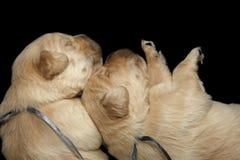 金毛猎犬小狗黑背景 图库摄影