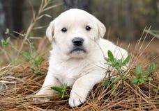 金毛猎犬年纪的小狗四个星期 库存照片