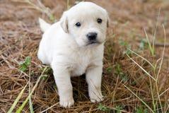 金毛猎犬年纪的小狗四个星期 免版税库存照片