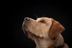 金毛猎犬拉布拉多狗 库存图片