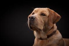 金毛猎犬拉布拉多狗 库存照片