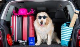 金毛猎犬旅行 图库摄影