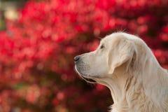 金毛猎犬有红色Bokeh背景 免版税库存图片