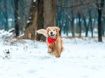 金毛猎犬步行在公园 免版税库存图片