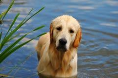 金毛猎犬水 免版税库存图片