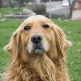 金毛猎犬没有户外皮带的狗画象 免版税图库摄影
