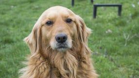 金毛猎犬没有户外皮带的狗画象 图库摄影