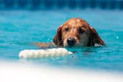 金毛猎犬游泳与玩具 免版税库存图片