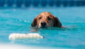 金毛猎犬游泳与玩具 库存图片