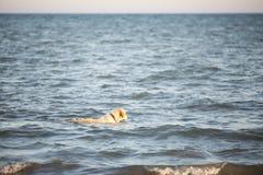 金毛猎犬游泳在地中海的水中 库存图片